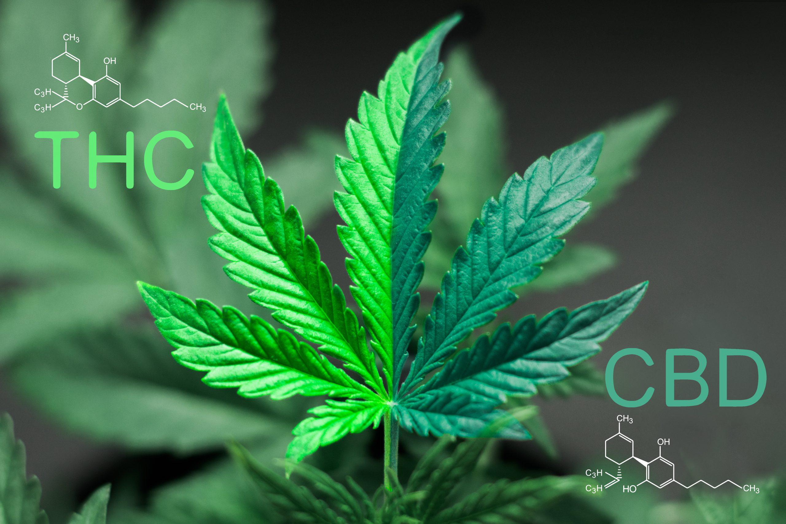 A beautiful sheet of cannabis marijuana in the defocus with the image of the formula CBD